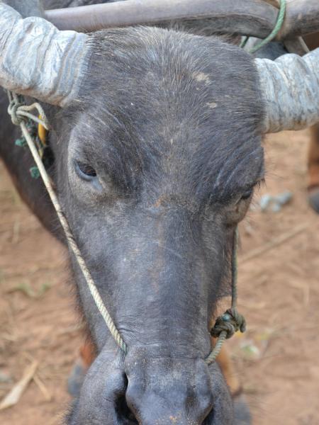 Water Buffalo (Cambodia)