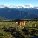 Hurricane Ridge (Olympic Peninsula) with deer