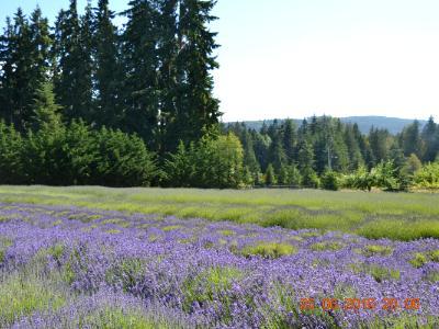 Lavender Fields, Sequim, WA