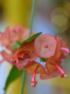 Chiang Mai Flower