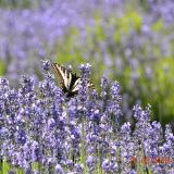 Lavender Fields (Sequim, WA) with butterfly