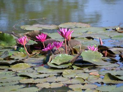 Water Lilies (Cambodia/Angkor Wat)
